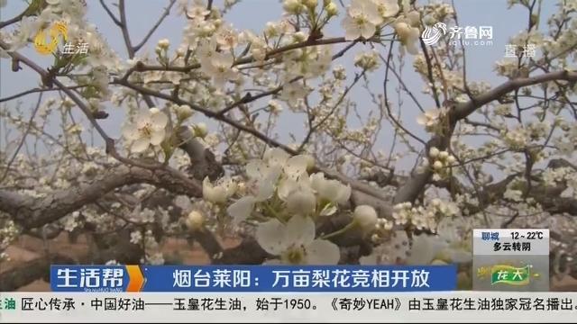 烟台莱阳:万亩梨花竞相开放