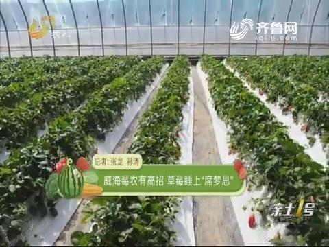 """威海莓农有高招 草莓睡上""""席梦思"""""""