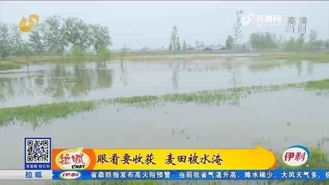茌平:眼看要收获 麦田被水淹