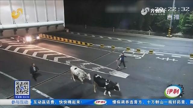 """青岛:跳车""""越狱"""" 两头牛上高速散步"""