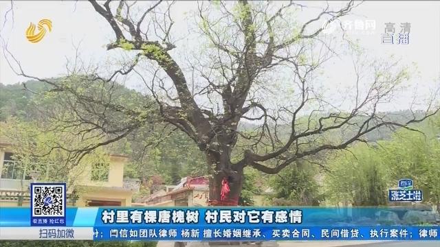 济南:村里有棵唐槐树 村民对它有感情