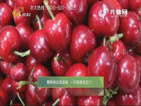 櫻桃種出高品質 一斤就能賣五十