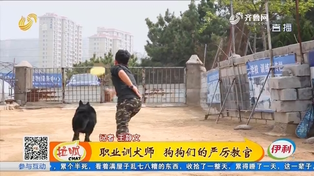 青岛:职业训犬师 狗狗们的严厉教官