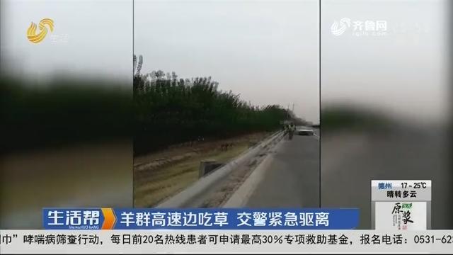 泰安:羊群高速边吃草 交警紧急驱离