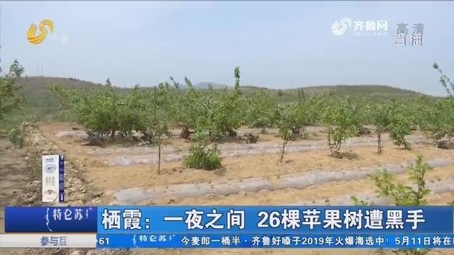 栖霞:一夜之间 26棵苹果树遭黑手