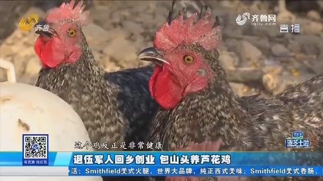 烟台:退伍军人回乡创业 包山头养芦花鸡