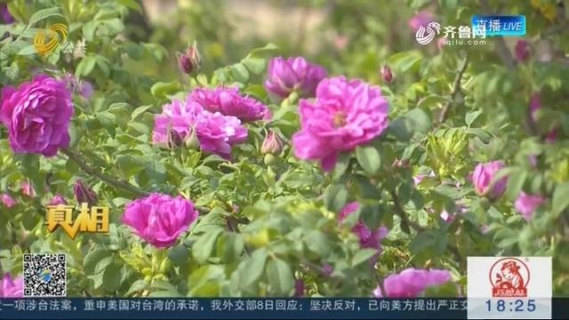 """【真相】玫瑰季探访玫瑰乡:品""""油炸玫瑰""""时令美食"""