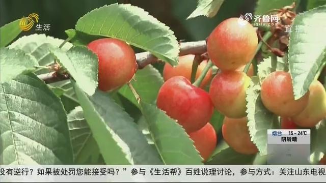 济南:大樱桃熟了!采摘正当时