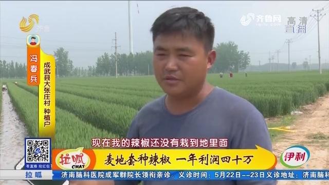 成武:麦地套种辣椒 一年利润四十万