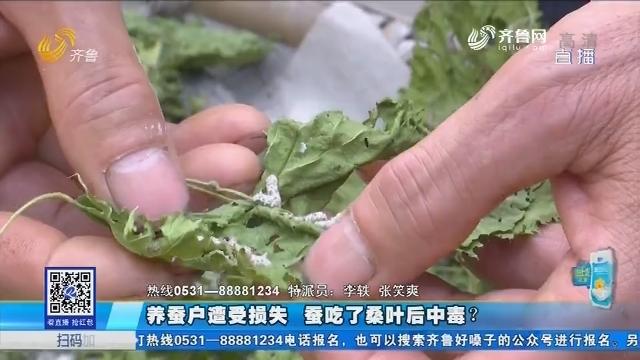 泰安:养蚕户遭受损失 蚕吃了桑叶后中毒?
