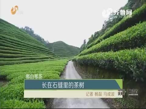 【那山那茶】长在石缝里的茶树