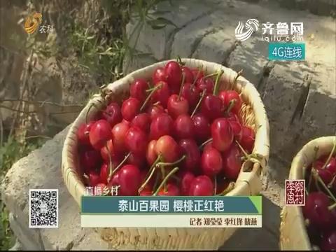 【直播乡村】泰山百果园 樱桃正红艳