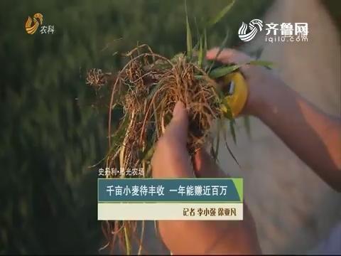 【史丹利·星光农场】千亩小麦待丰收 一年能赚近百万