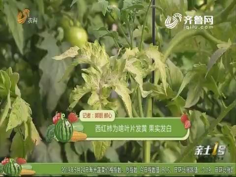 【植物医院】西红柿为啥叶片发黄 果实发白