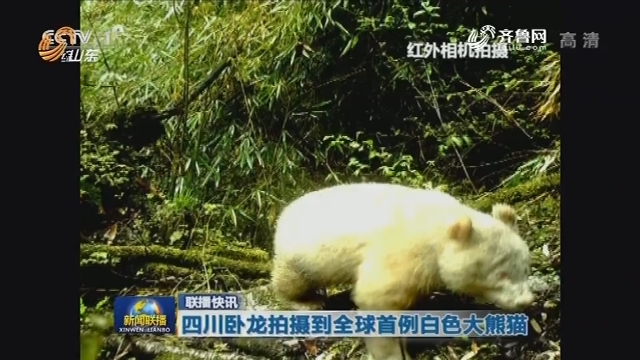 【联播快讯】四川卧龙拍摄到全球首例白色大熊猫