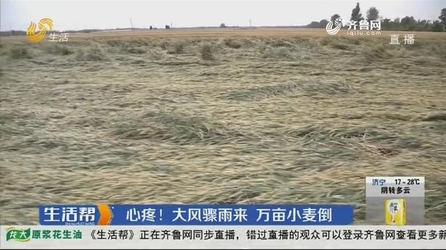 菏泽:心疼!大风骤雨来 万亩小麦倒
