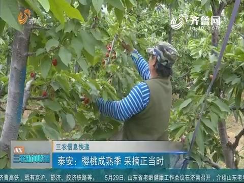 【三农信息快递】泰安:樱桃成熟季 采摘正当时