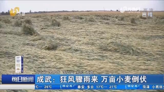 成武:狂风骤雨来 万亩小麦倒伏