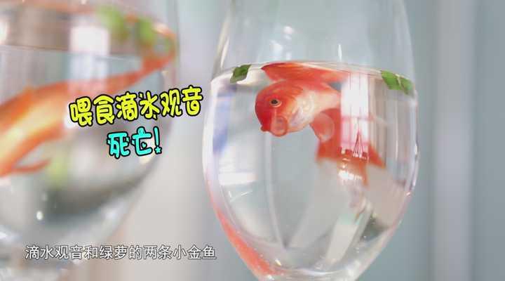 《生活大求真》:滴水观音到底有多毒?用三条鱼来试试!