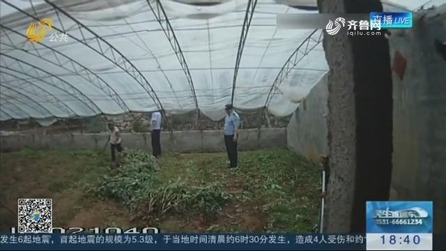 济南:男子大棚内非法种罂粟被查处