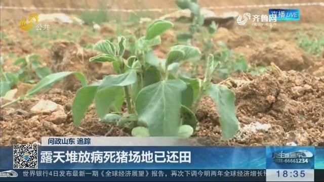 【问政山东·追踪】临沂:露天堆放病死猪场地已还田