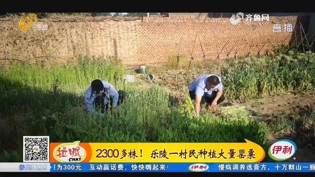 2300多株!乐陵一村民种植大量罂粟