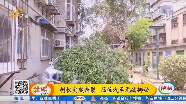 济南:树杈突然断裂 压住汽车无法挪动