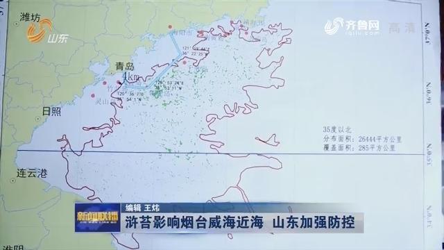 浒苔影响烟台威海近海 山东加强防控