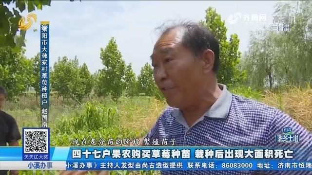 莱阳:四十七户果农购买草莓种苗 栽种后出现大面积死亡