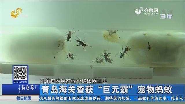 """青岛海关查获""""巨无霸""""宠物蚂蚁"""