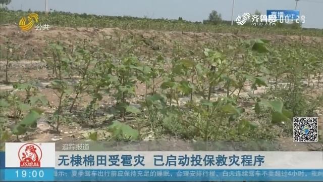 【追踪报道】无棣棉田受雹灾 已启动投保救灾程序