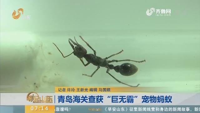 """【闪电新闻排行榜】青岛海关查获""""巨无霸""""宠物蚂蚁"""