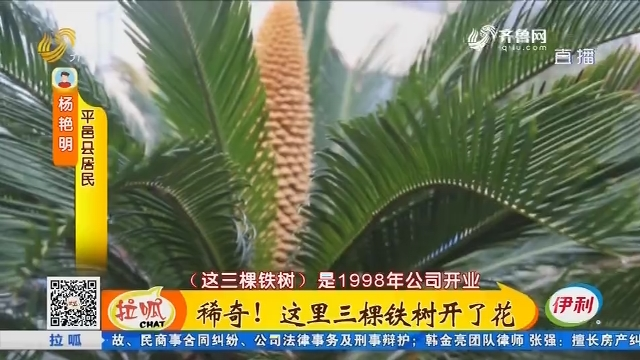 平邑:稀奇!这里三棵铁树开了花