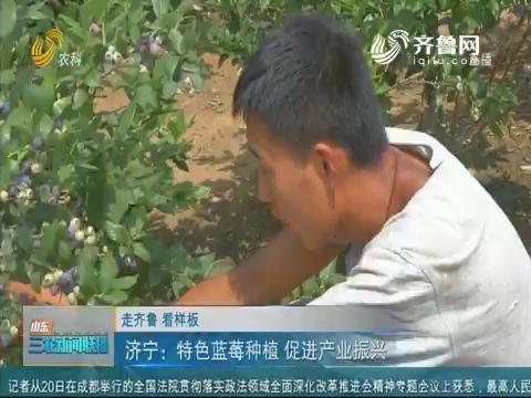 【走齐鲁 看样板】济宁:特色蓝莓种植 促进产业振兴