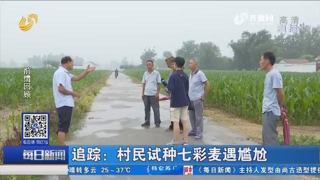 临邑:追踪 村民试种七彩麦遇尴尬