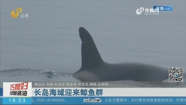 长岛海域迎来鲸鱼群