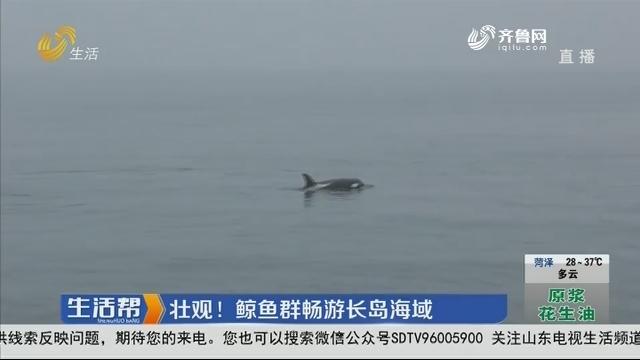 烟台:壮观!鲸鱼群畅游长岛海域
