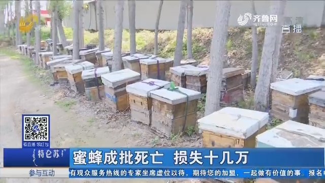平原:蜜蜂成批死亡 损失十几万