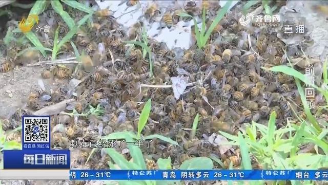 平原:老蜂农蜜蜂大量死亡追踪