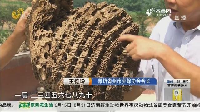 """潍坊青州:探秘""""巨无霸""""蜂巢"""
