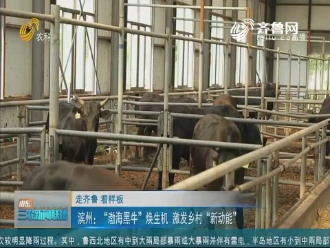 """【走齐鲁 看样板】滨州:""""渤海黑牛""""焕生机 激发乡村 """"新动能"""""""