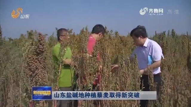 山东盐碱地种植藜麦取得新突破