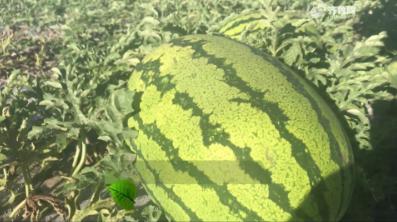 【史丹利·星光农场】十年沙地种西瓜匀称果大 每亩多挣350