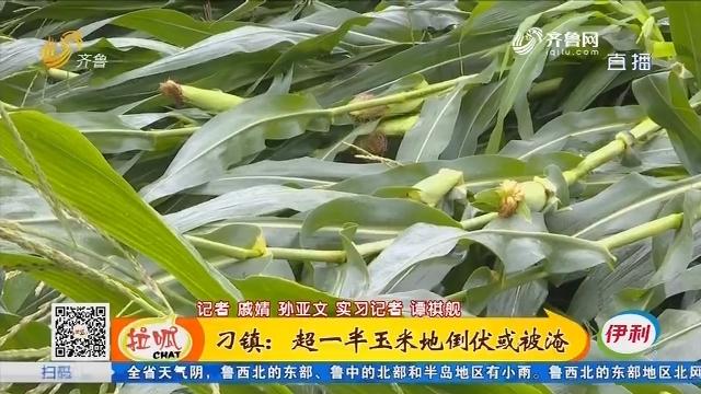 刁镇:超一半玉米地倒伏或被淹