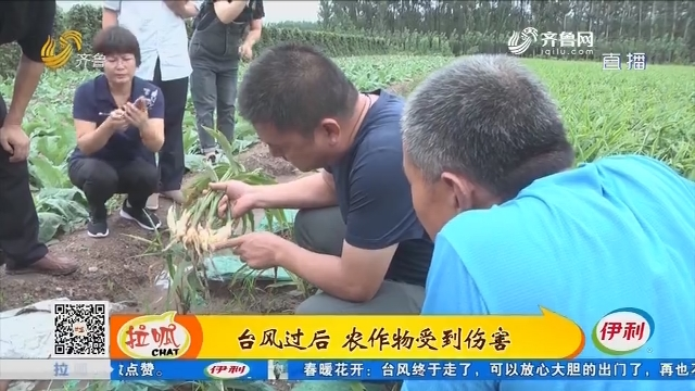 潍坊:台风过后 农作物受到伤害
