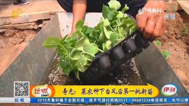 寿光:菜农种下台风后第一批新苗