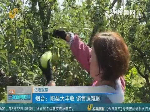 【记者观察】烟台:阳梨大丰收 销售遇难题