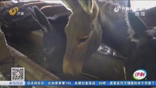 菏泽:20头毛驴越狱 价值7万多