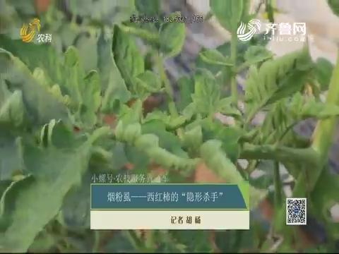 """【小螺号·农技服务直通车】烟粉虱——西红柿的""""隐形杀手"""""""
