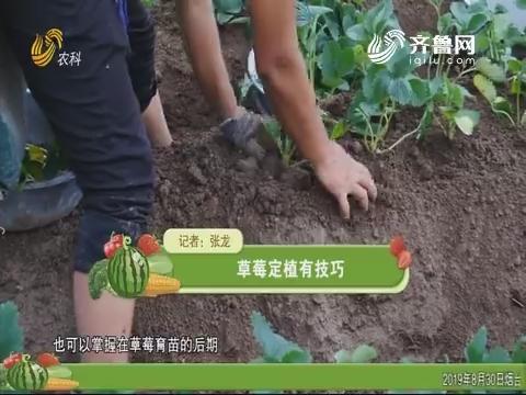 草莓定植有技巧